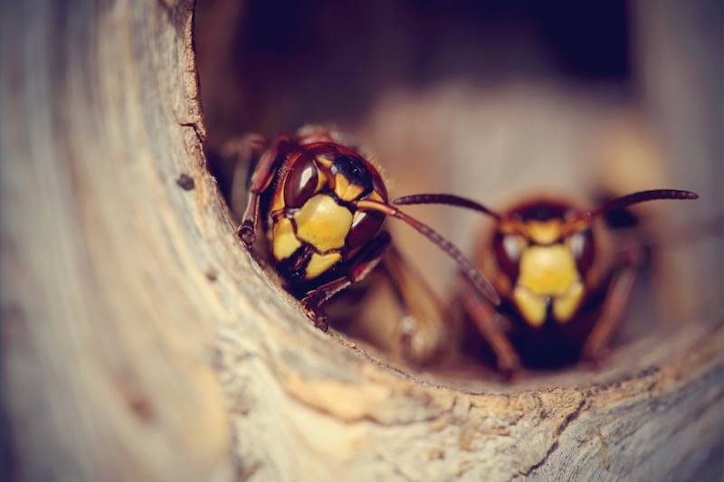 How to Identify Wasps and Hornets