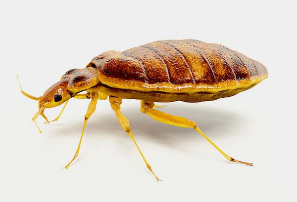 Bed Bug - Image Credit: https://www.flickr.com/photos/usdagov/15257458553