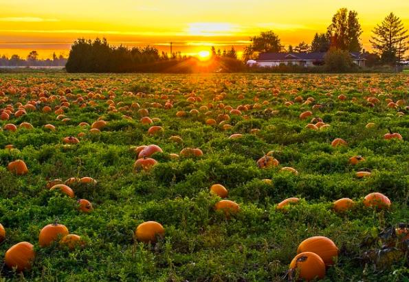 Granary Road pumpkin patch in Calgary, Alberta