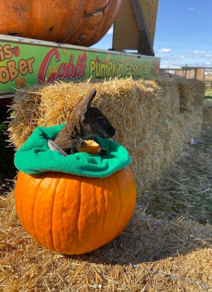 A kangaroo in a pumpkin at Cobb's Corn Maze and Adventure Park in Calgary, AB