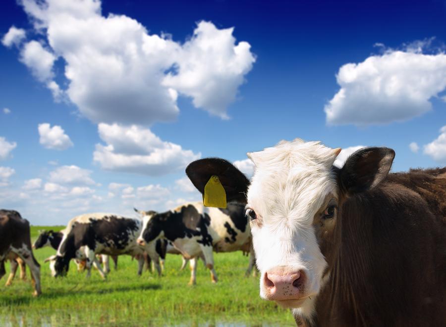 Foxhollow Farm Cows