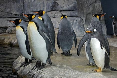 Newport Aquarium Penguins