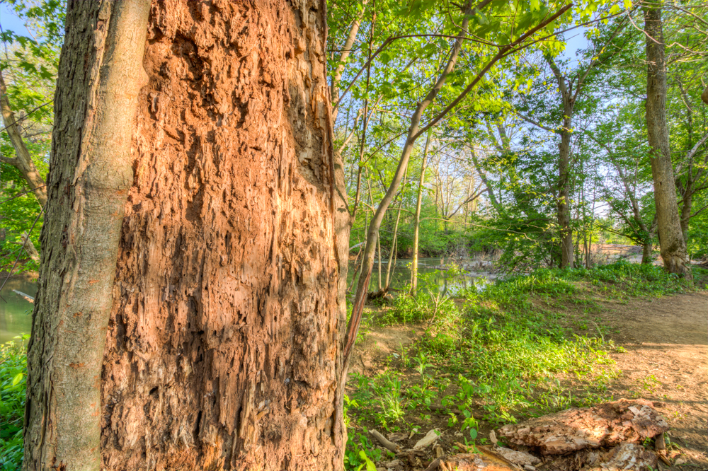 Tree Eaten by Termites in Beckley Creek Park