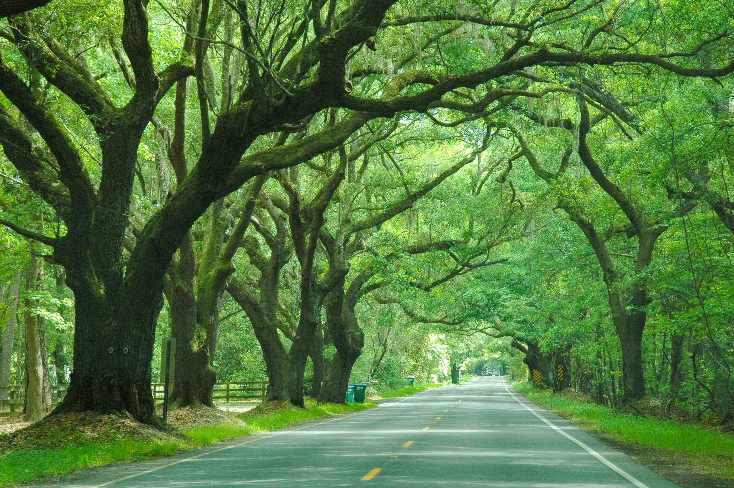 wadmalaw road with green oak trees