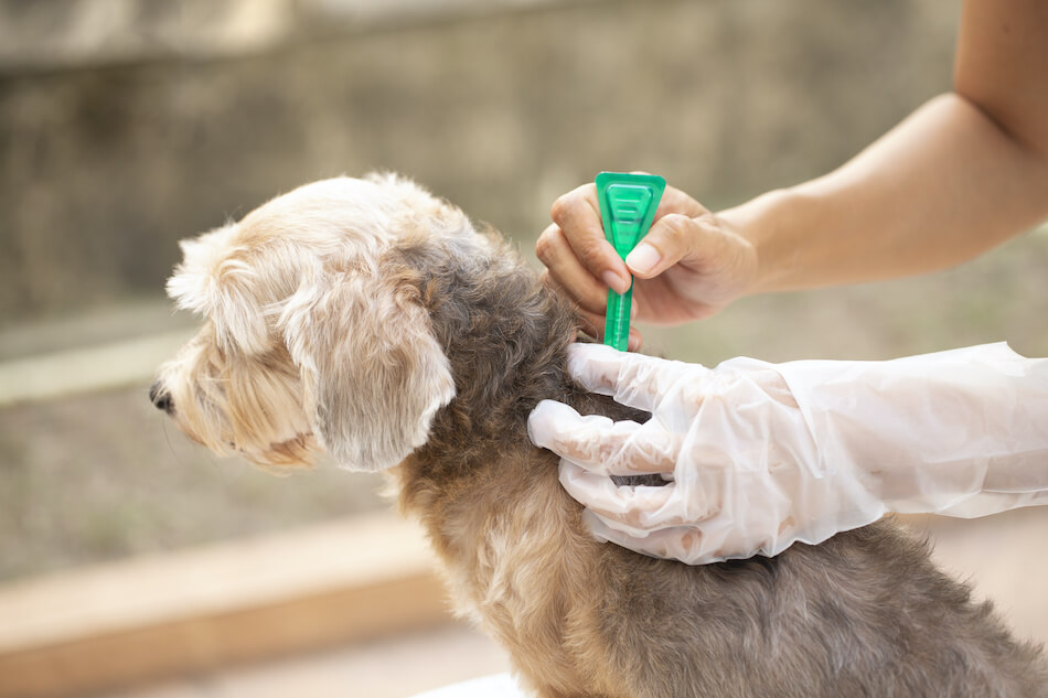 How to Prevent a Flea Infestation