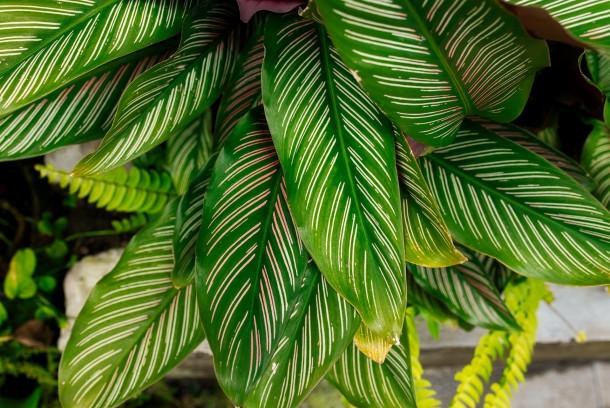 Indoor Calatheas leaves