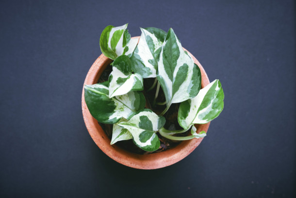 potted golden pothos plant