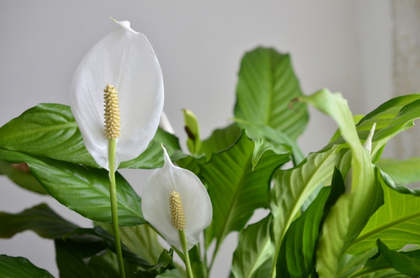 Peace lily indoors
