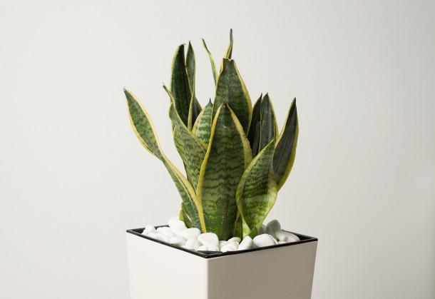 indoor snake plant