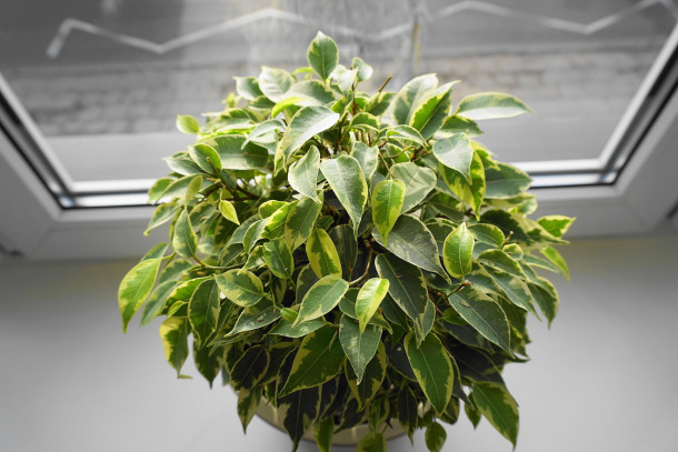 indoor weeping fig plant