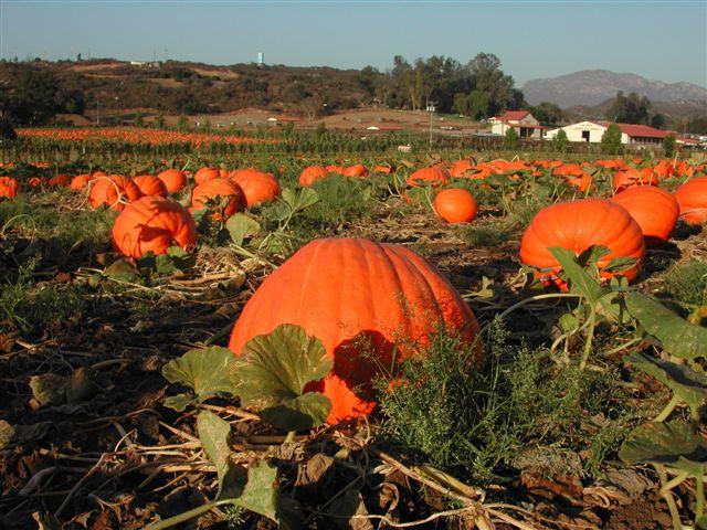 Pumpkin Patch Image