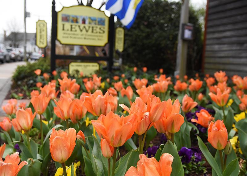 Lewes-Tulips