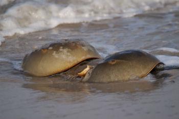 horseshoe-crabs