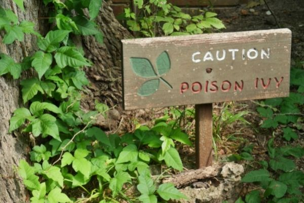 Poison Ivy Facts and How to Identify it in South Maryland
