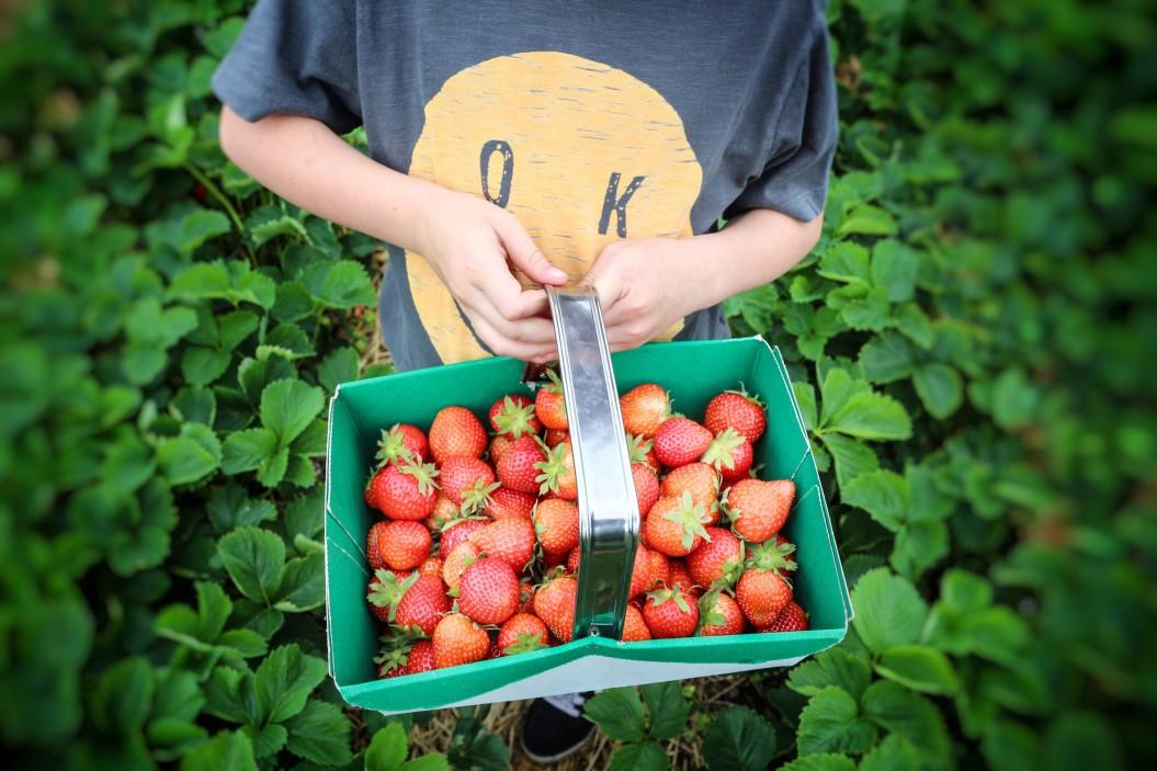 Friday Night on the Farm - Mechanicsville Strawberry Picking