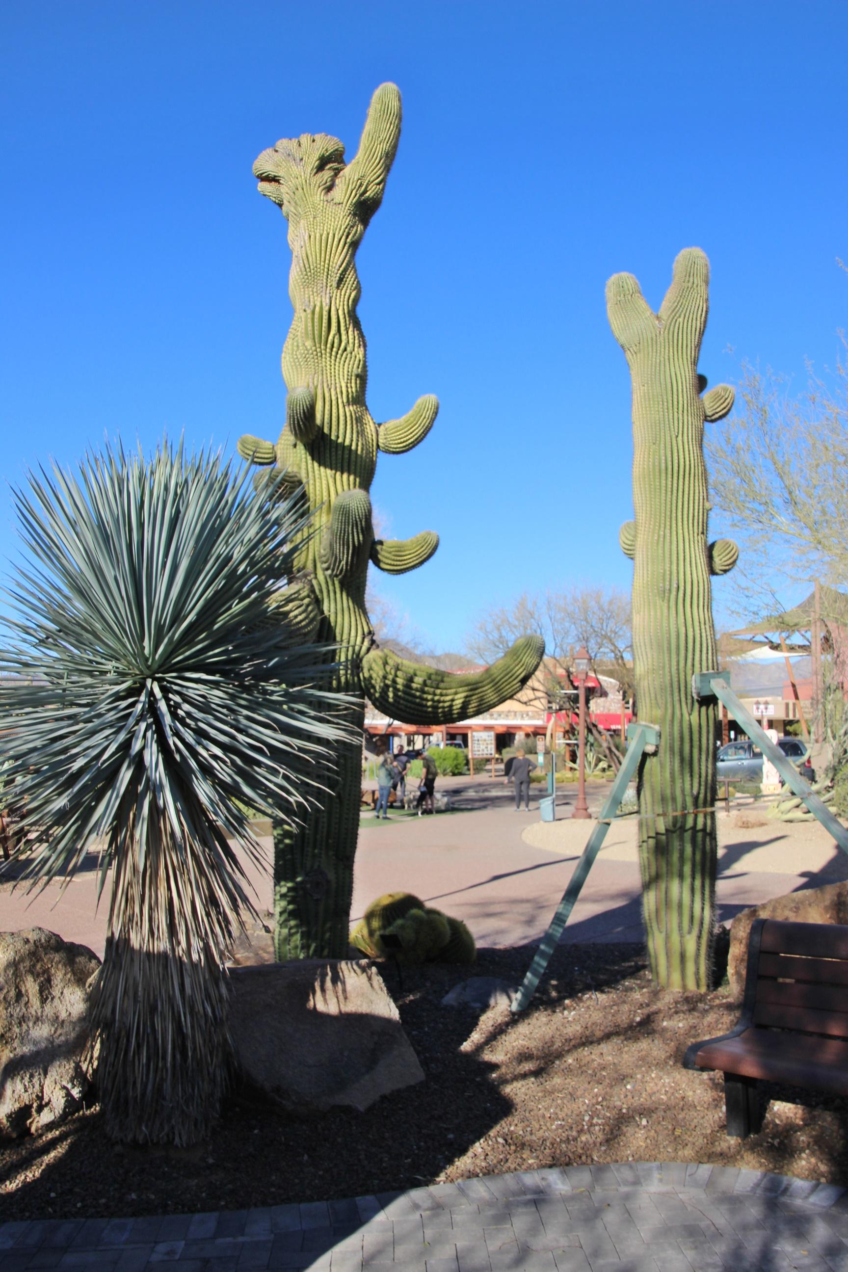 2 tall cacti at desert gardens in carefree arizona