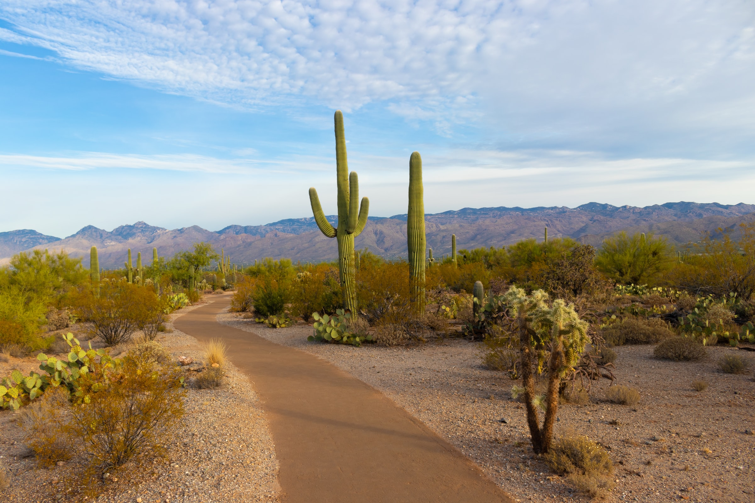 A road in an Arizona desert with large green cacti and a blue sky