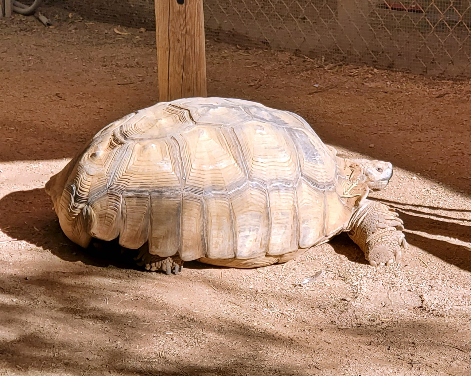 goliath the tortoise southwest wildlife center
