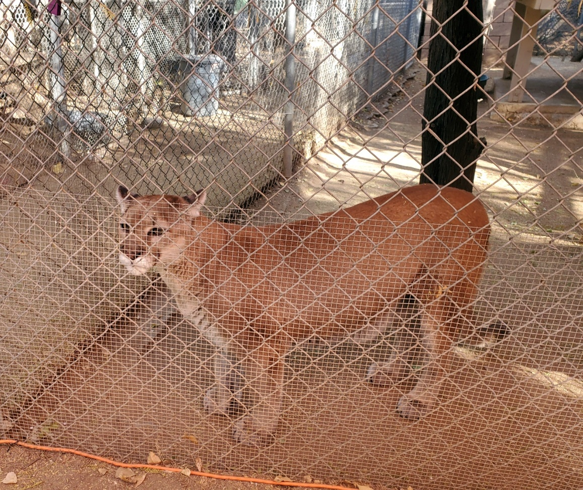 tocho mountain lion scottsdale az southwest wildlife conservation center