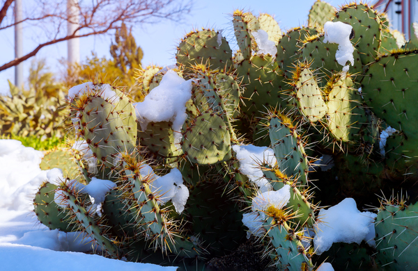prickly pear cactus with snow in scottsdale