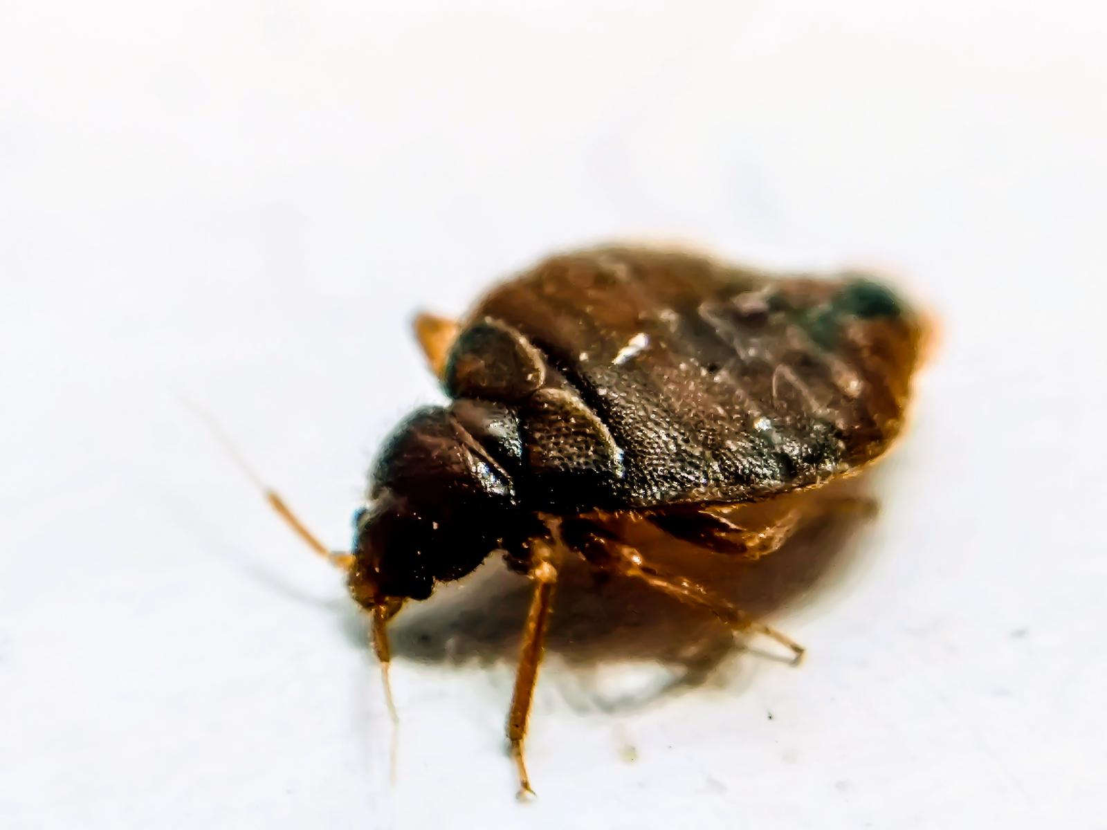 a bedbug in a scottsdale home