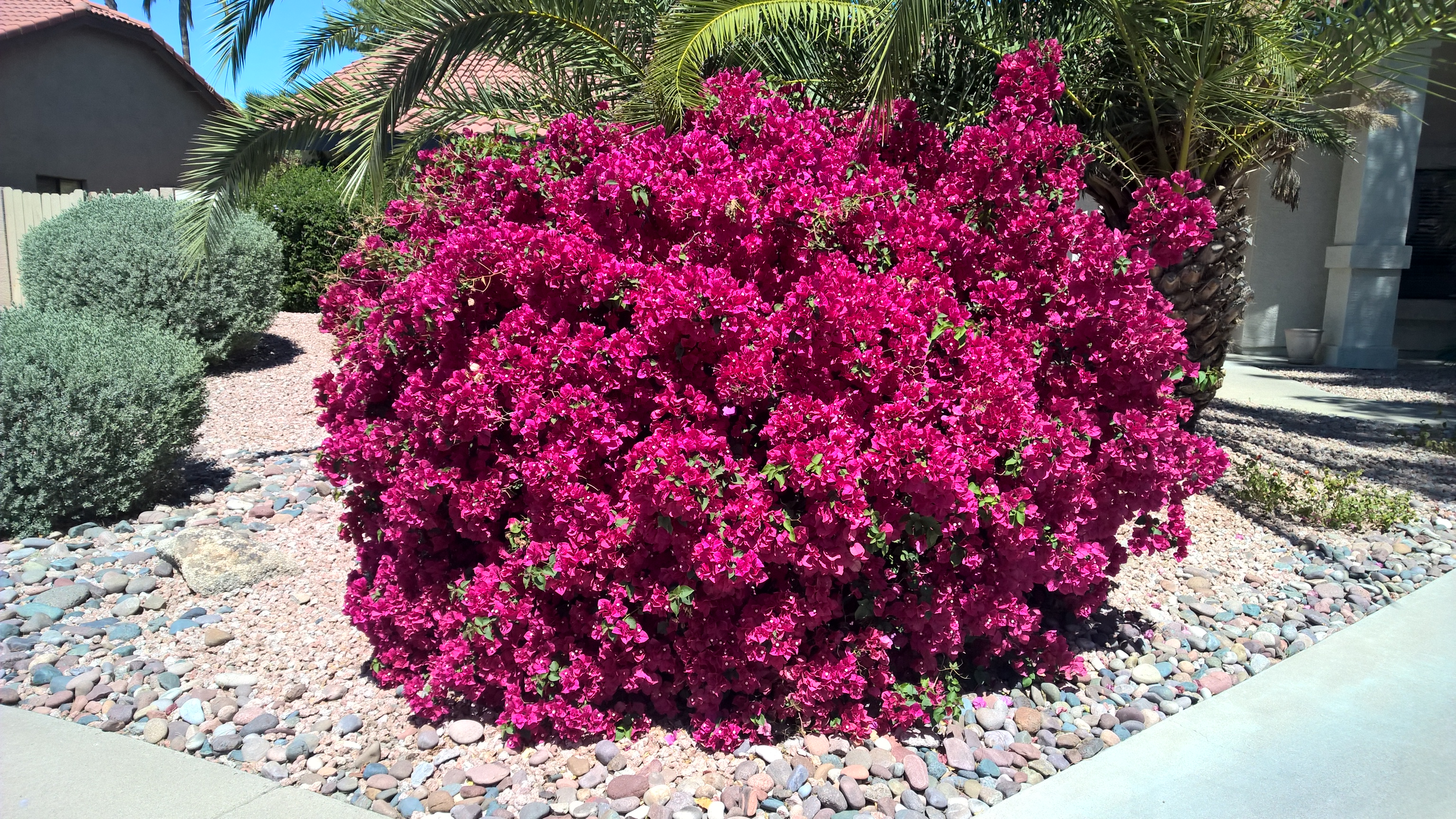bougainvillea plant in front of a scottsdale home