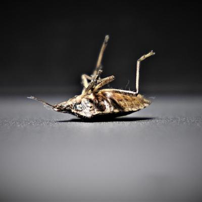 dead bedbug in scottsdale