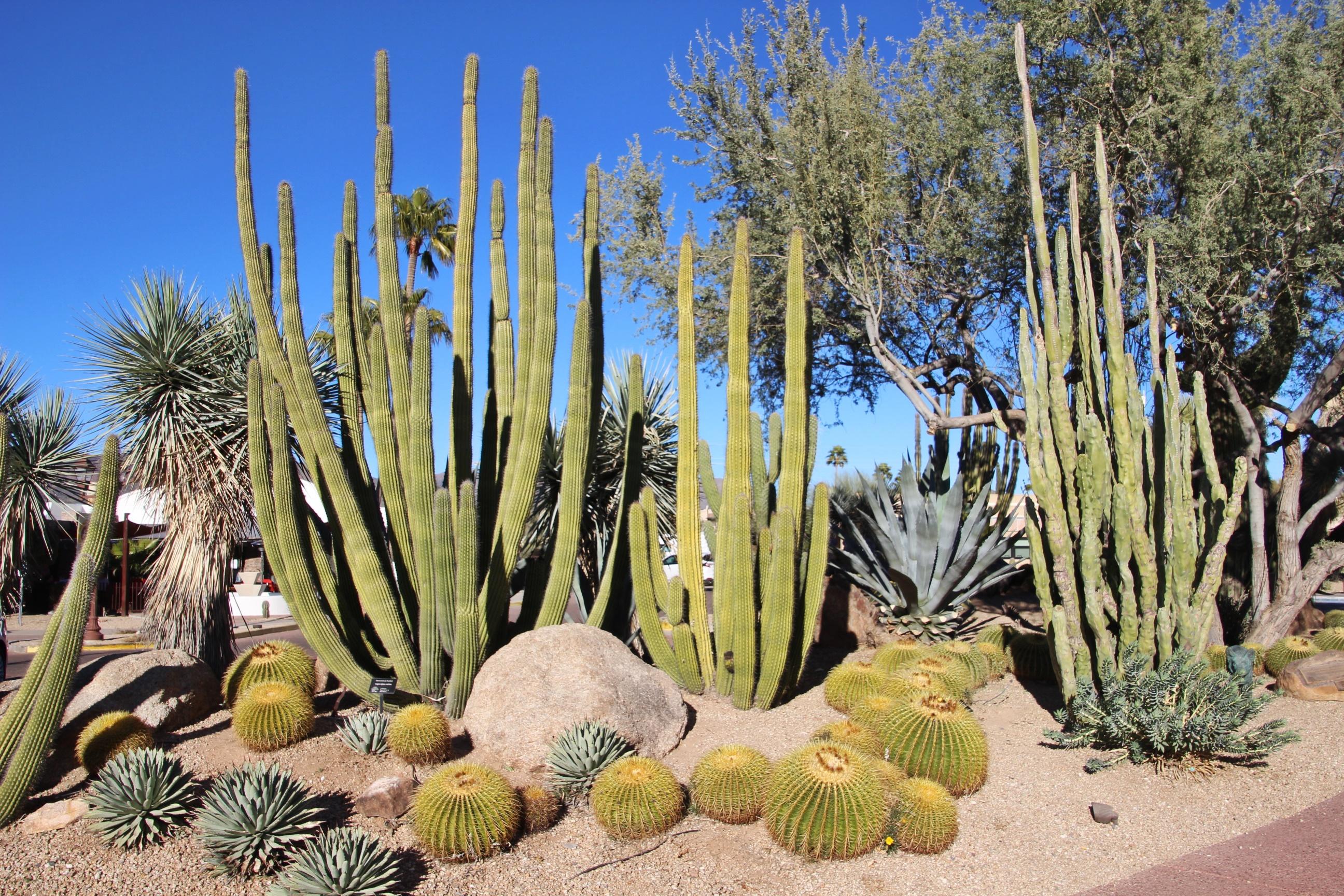 cacti at carefree desert gardens
