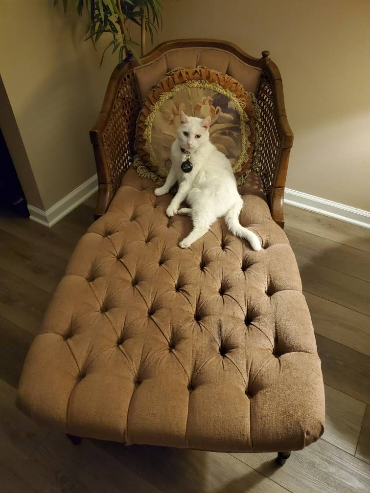 Sugar the cat on a chaise