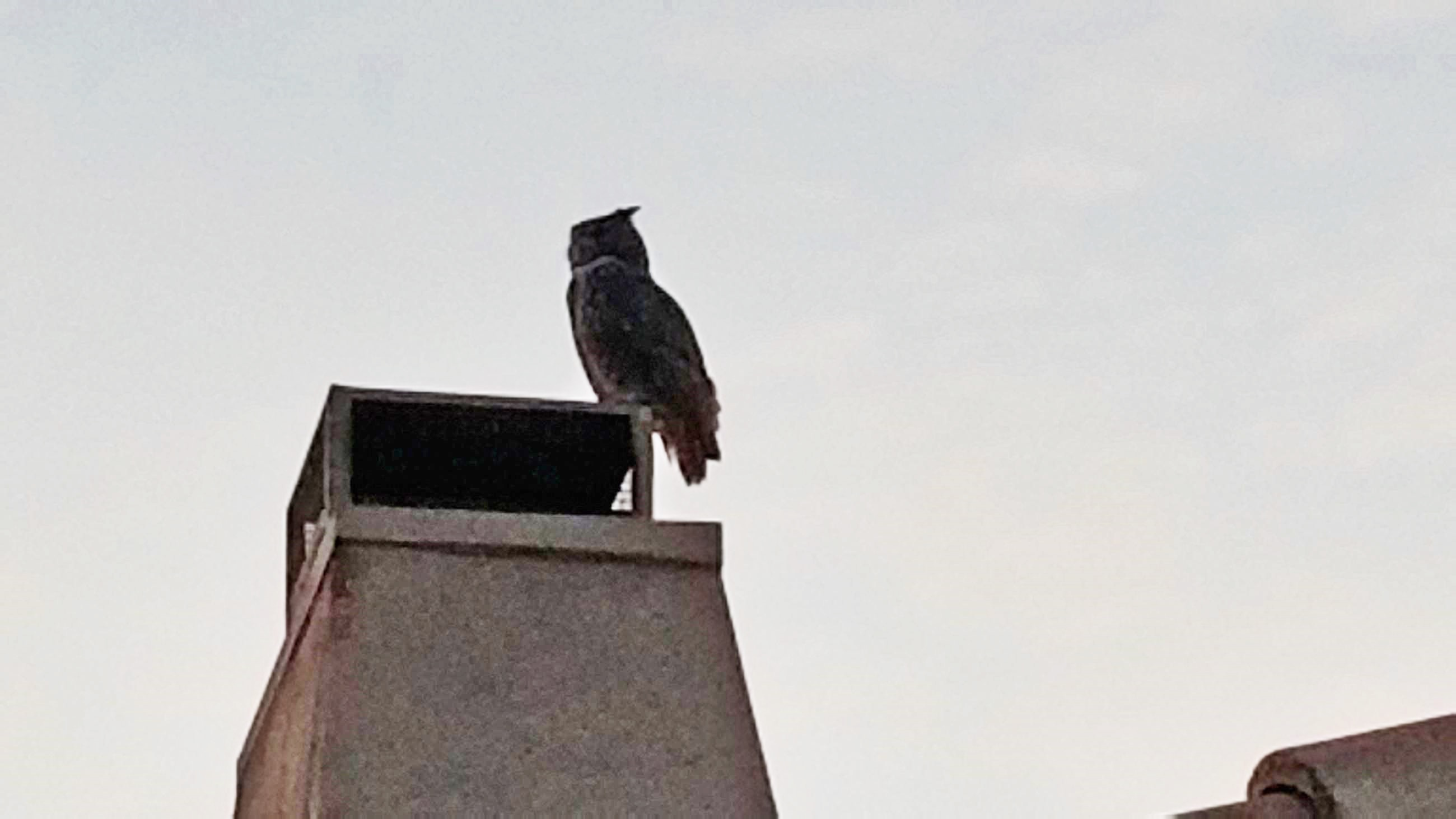 owl on chimney at Tatum Ranch in Cave Creek, AZ