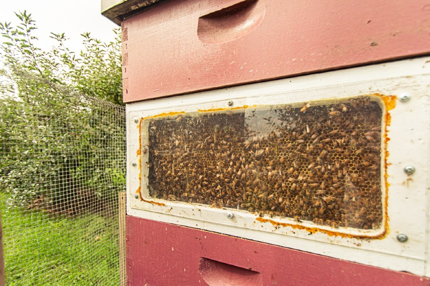 Window into a beehive at Erwin's Orchard