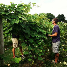 men picking grapes in the vineyard