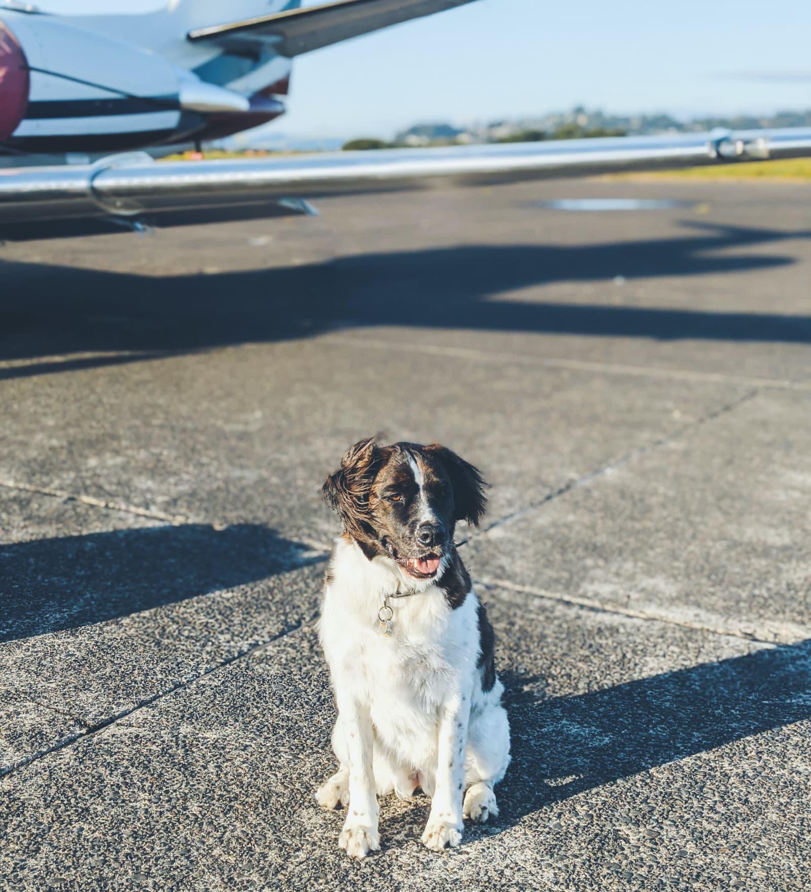 Dog Near Airplace