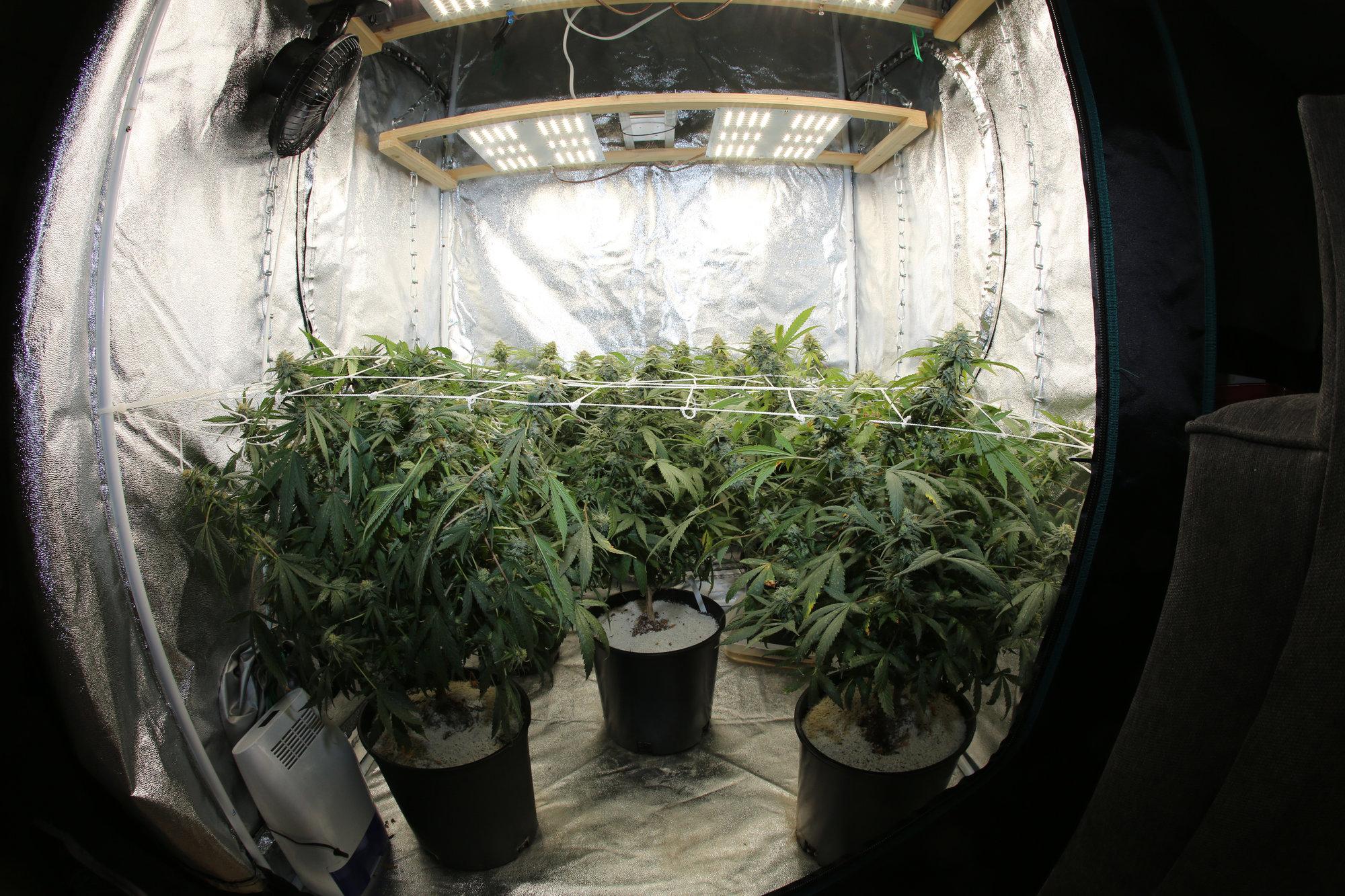 Grow Marijuana at your home