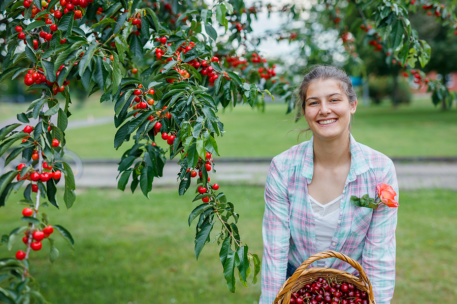 Pick cherries near your West Palmdale home.