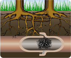 Roots are the main problem with sewer lines in Colorado