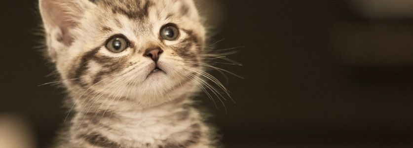grey kitten looking up at owner