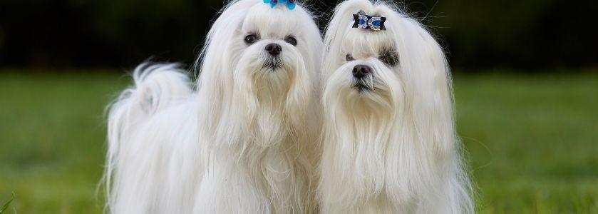 two female maltese dogs