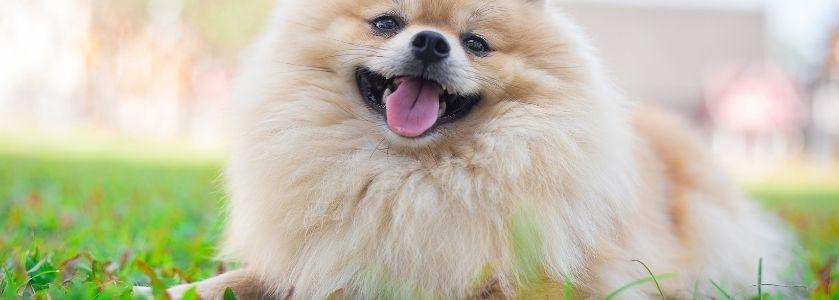 smiling white pomeranian