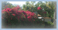Bougainvillea vines on Casey Key