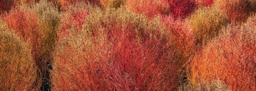 fire brush plant