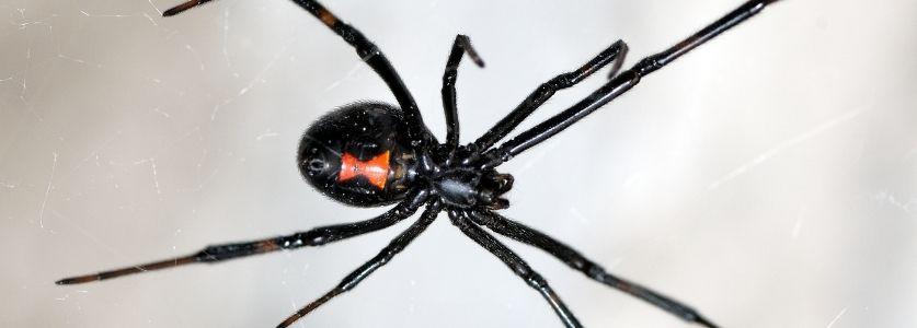 black widow spider in building corner
