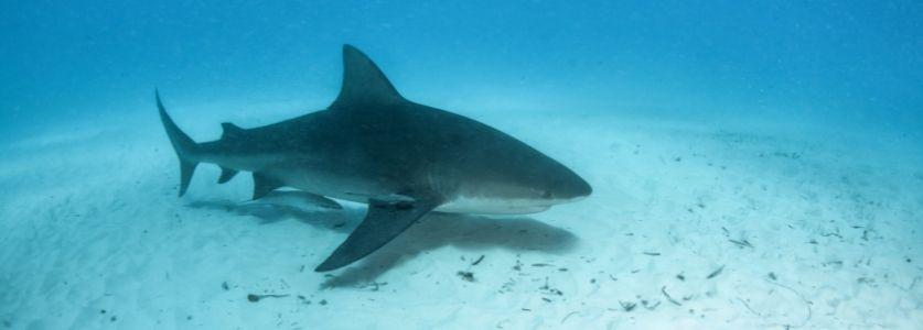 bull shark swimming over sand flats