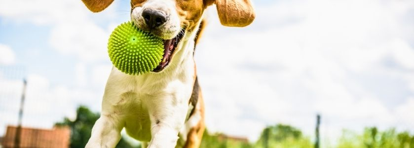 jack russell terrier running with rubber ball