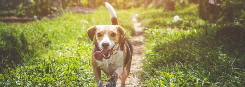 dog running through grassy field