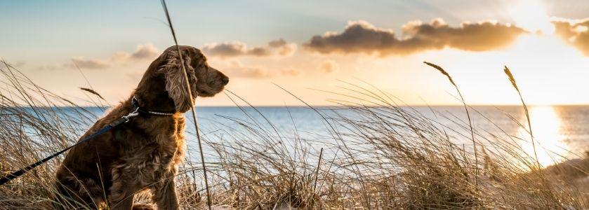 spaniel dog on beach at sunset