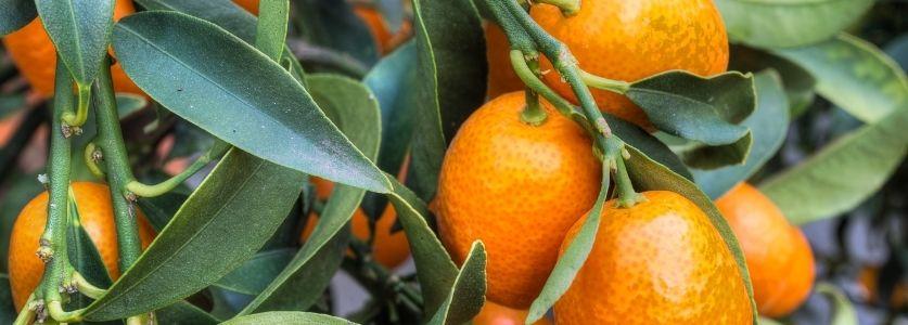kumqaut fruit on tree