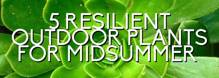 5 resilient midsummer plants