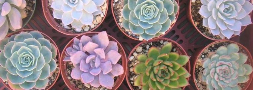 succulents in individual pots