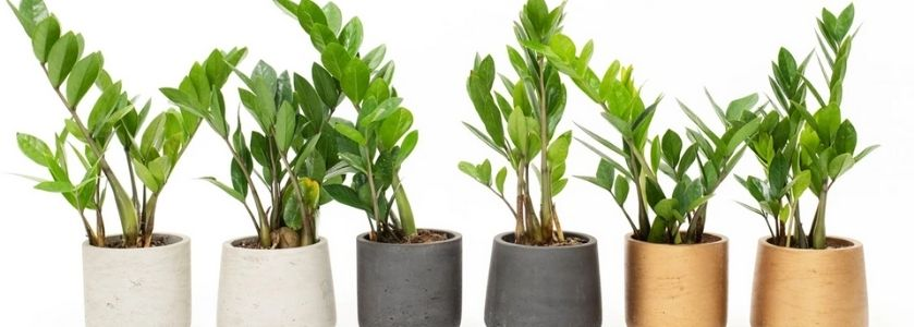 row of zz plants in pots